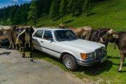 Car und Kuh